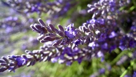 南法:在薰衣草向日葵的世界里徜徉