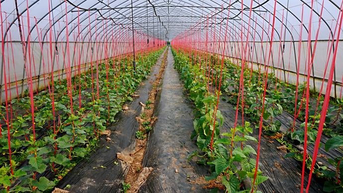 上海农民种菜调查:这些合作社为什么能种出独家菜?