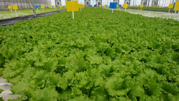 上海农民种菜调查:1元绿叶菜卖到8元,缘何依然畅销?
